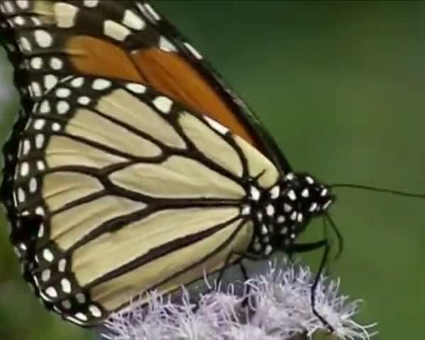 Illinois looking to increase monarch butterfly population_38492517-159532
