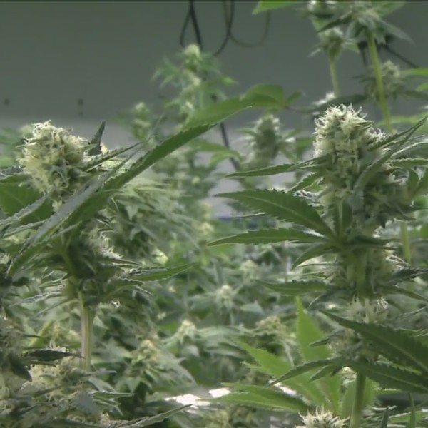 QCs law enforcement says legalization of recreational marijuana in Illinois will bring changes