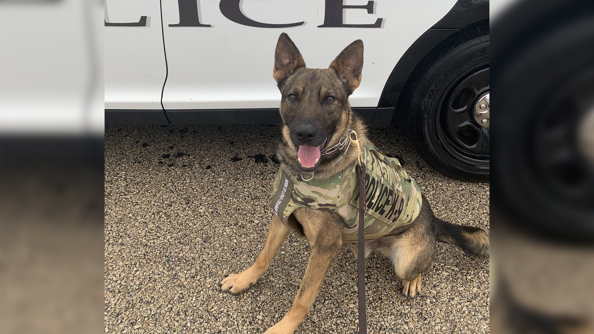 Galesburg Police Department's K9 Zeus shows off his bullet and stab protective vest (photo: Galesburg Police Department)