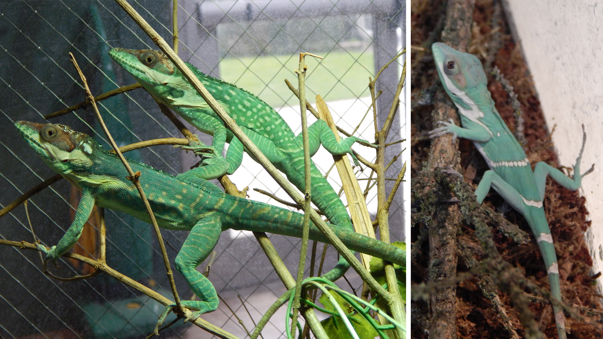 A pair of Smallwood's anole lizards (pictured on right) at Niabi Zoo had four eggs that hatched producing offspring (one is pictured on the left) in March and April of 2020 (photos courtesy of Niabi Zoo).